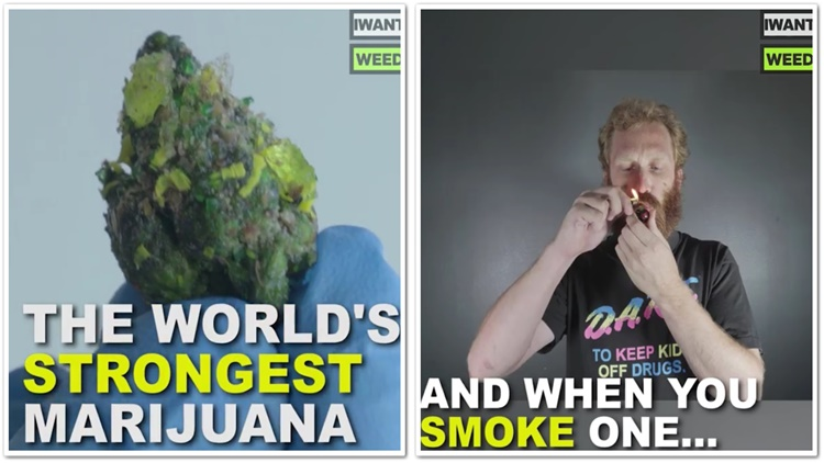 This Is How You Make The World's Strongest Marijuana