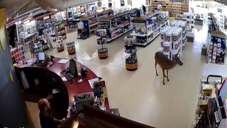 Deer SMASHES Through Paint Store Window, Nearly Hitting Worker