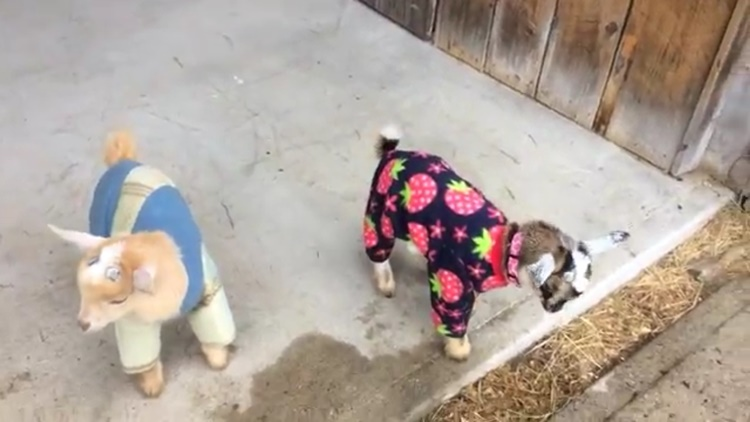 Someone Dressed Their Goats in Pajamas and It Was Hilarious