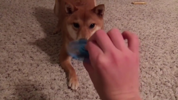 Dog Reacts to a Fidget Spinner